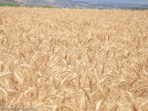 "Wheat ""White"" for Harvest"