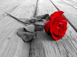 red rose on wood floow - black and white